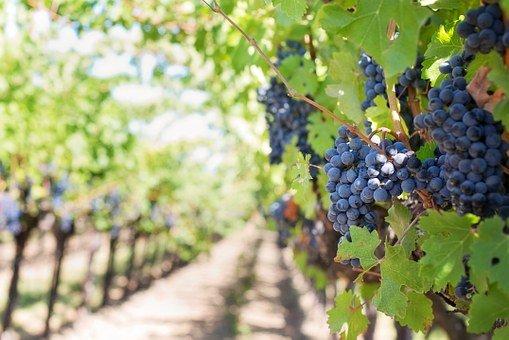 ¿Beber vino,  es en verdad saludable?