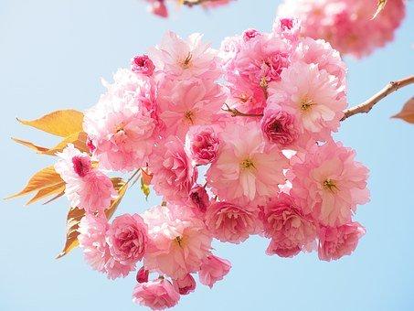 Las cerezas, una fuente de beneficios para la salud